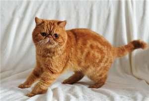 怎么培养加菲猫上厕所?训练加菲猫上厕所的方法及注意