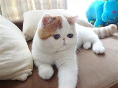 怎么培养加菲猫上厕所?训练加菲猫上厕所的方法及注意事项